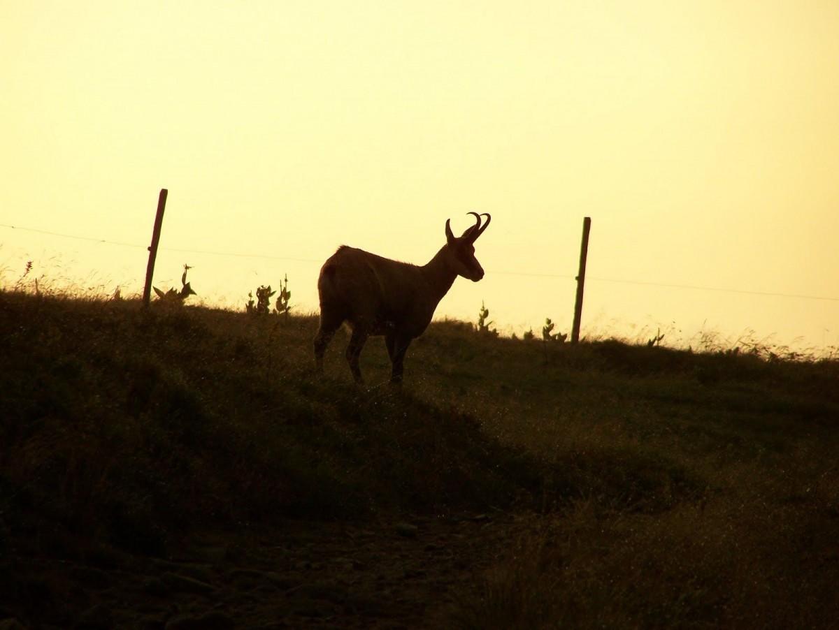 Balade observation des chamois avec Pierre Mengin La Bresse Hautes-Vosges